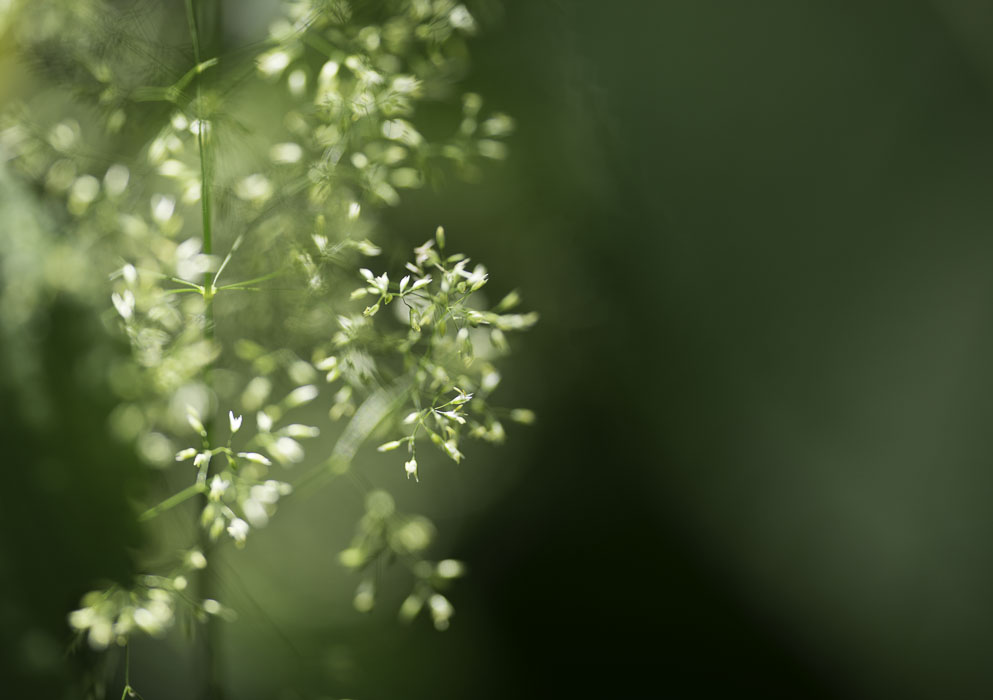 Lacy white flower against green background
