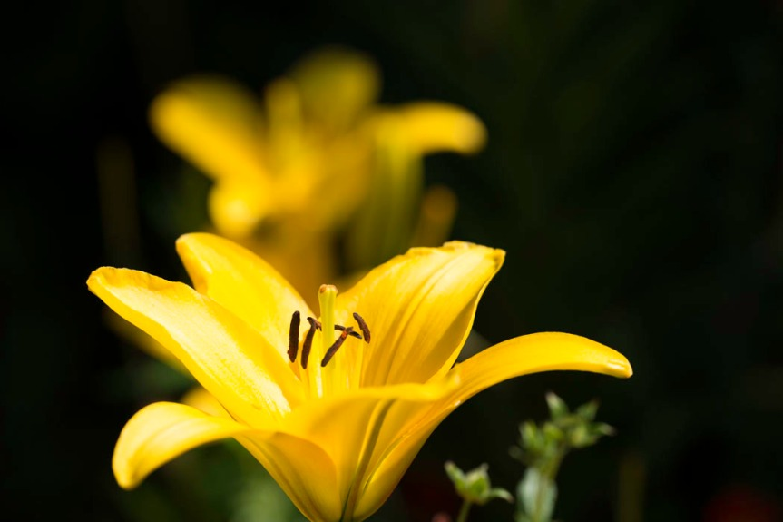 Bright Yellow daylily in foreground and one behind it slightly out of focus.