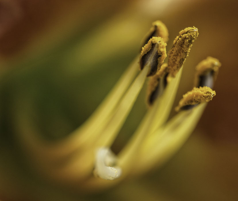 Close up of yellow, pollen-covered stamens and white pistil with some pollen on it