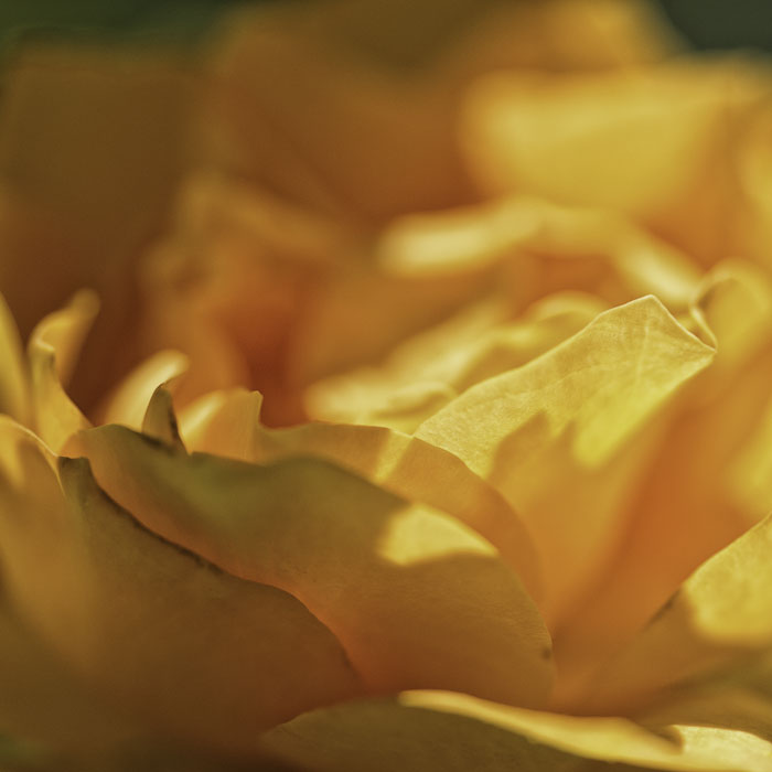 close up of yellow rose blossom