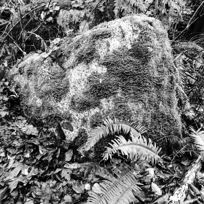 large rock with several varieties of moss on it and ferns in front--black and white
