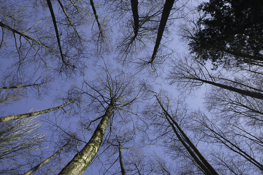 Looking Straight Up at a circle of tree tops