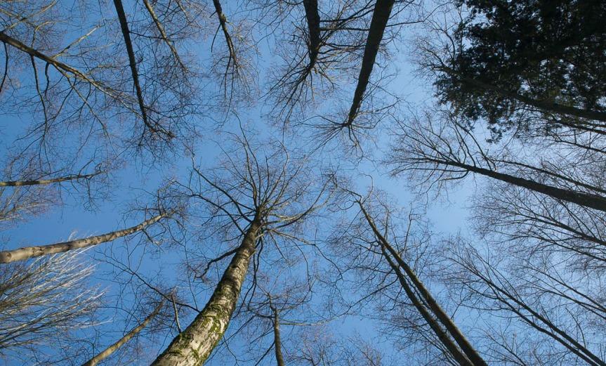 Looking Straight Up at a circle of tree tops