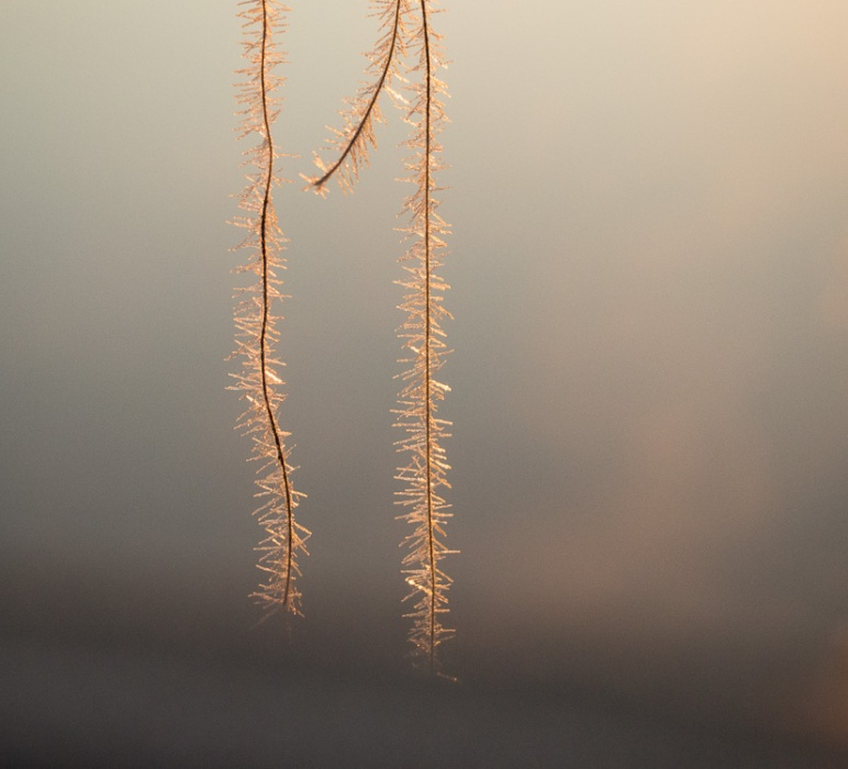 two strands of grass with frost crystals in the sunlight