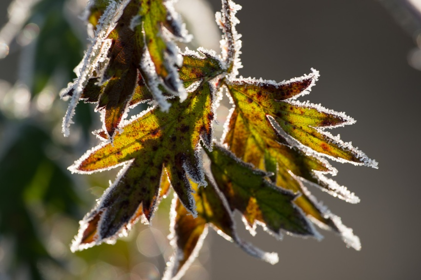 frost-rimmed leaves