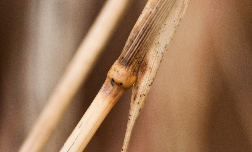 Joint in reed's stem and blurred background