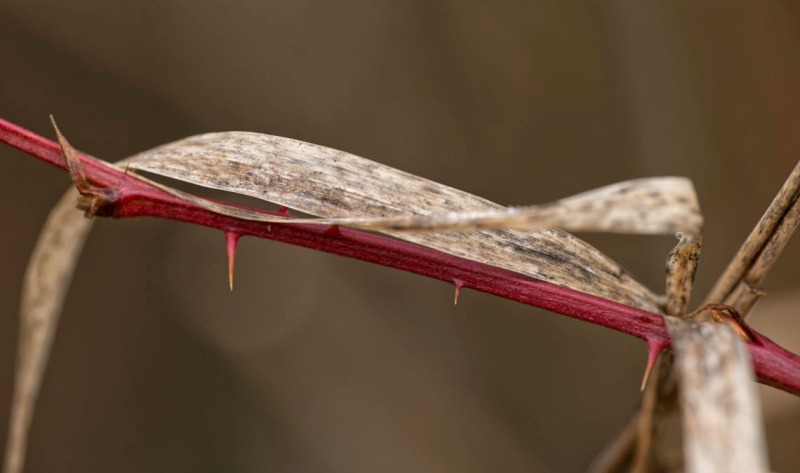 Drying grass frond looped over red branch of blackberry shrub