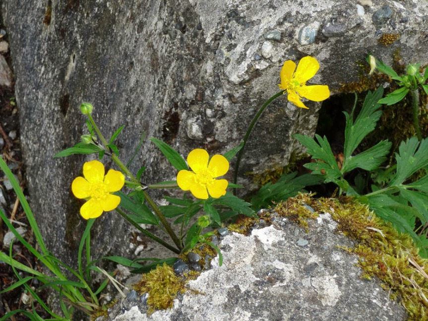 buttercups in bloom growing between two cement pillars