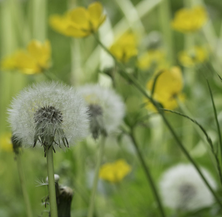 dandelion seed heads and buttercups in bloom