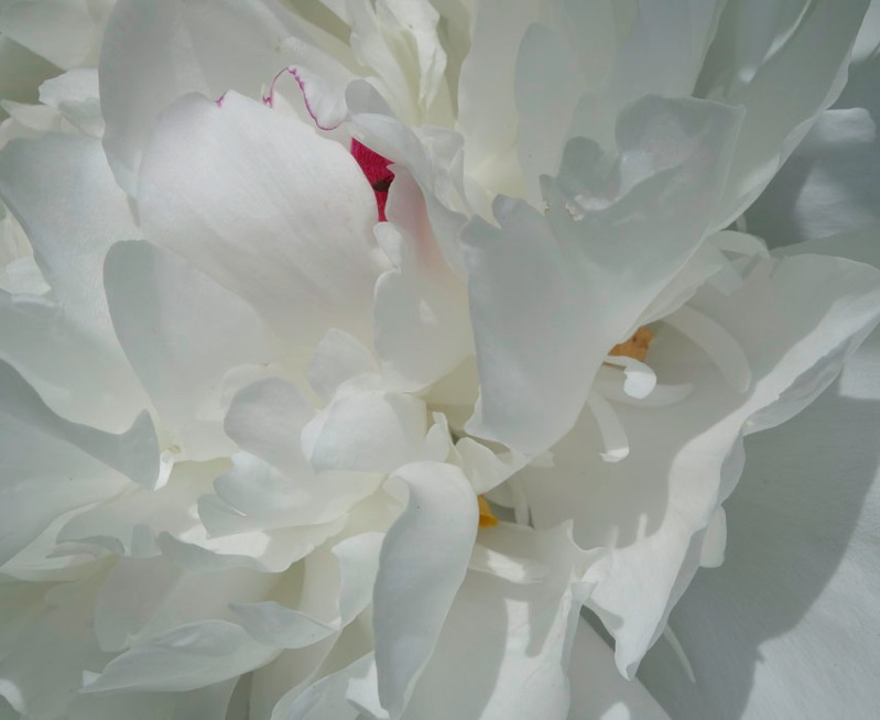 close up of white peony flower