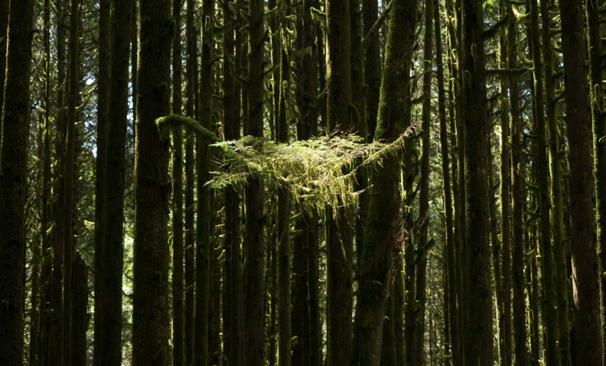 Stand of slim trunks with a patch of sunlit moss being held by several small branches