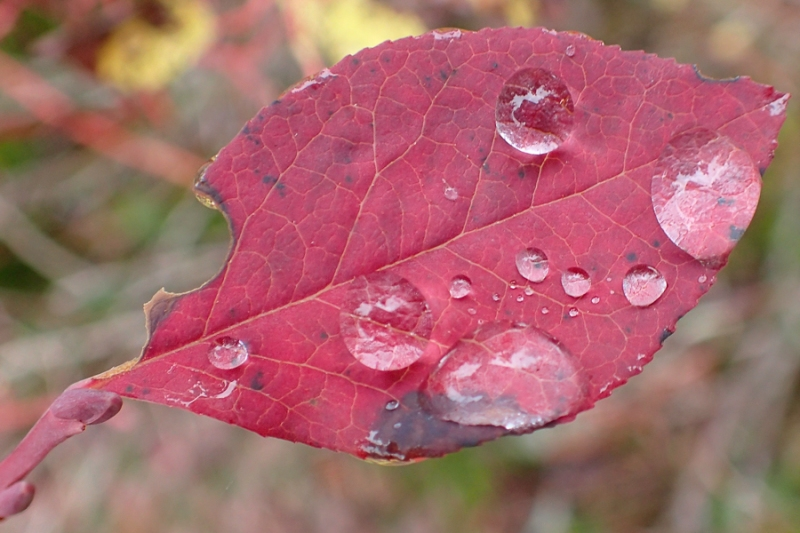 4 large raindrops on a red leaf