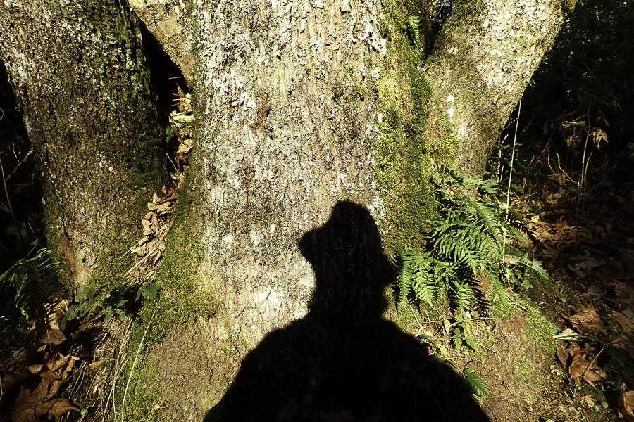 shadow on trunk of Big Leaf Maple tree
