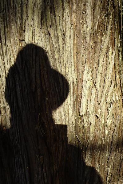 shadow on trunk of Western Cedar