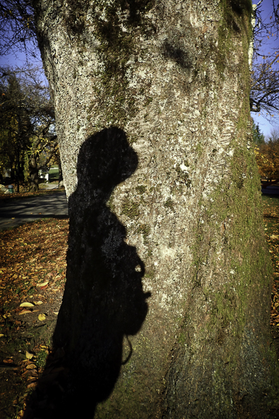 shadow on trunk of large cherry tree