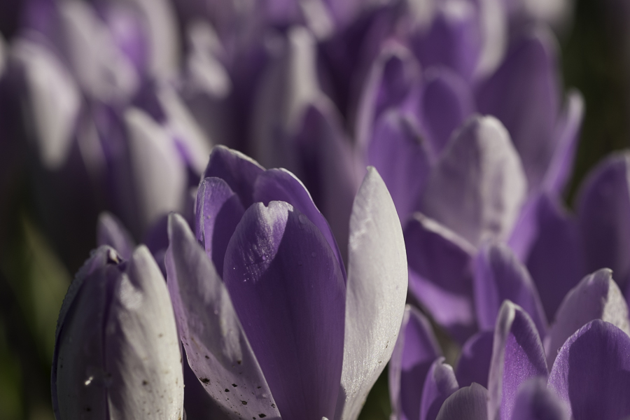 group of purple crocuses