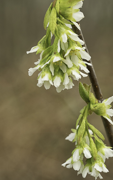 white flowers on woody branch
