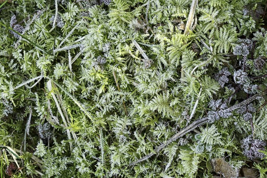 frost crystals on bryophytes