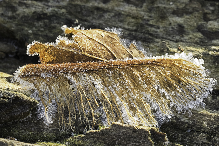 decayed leaf with frost on parts of its skeleton