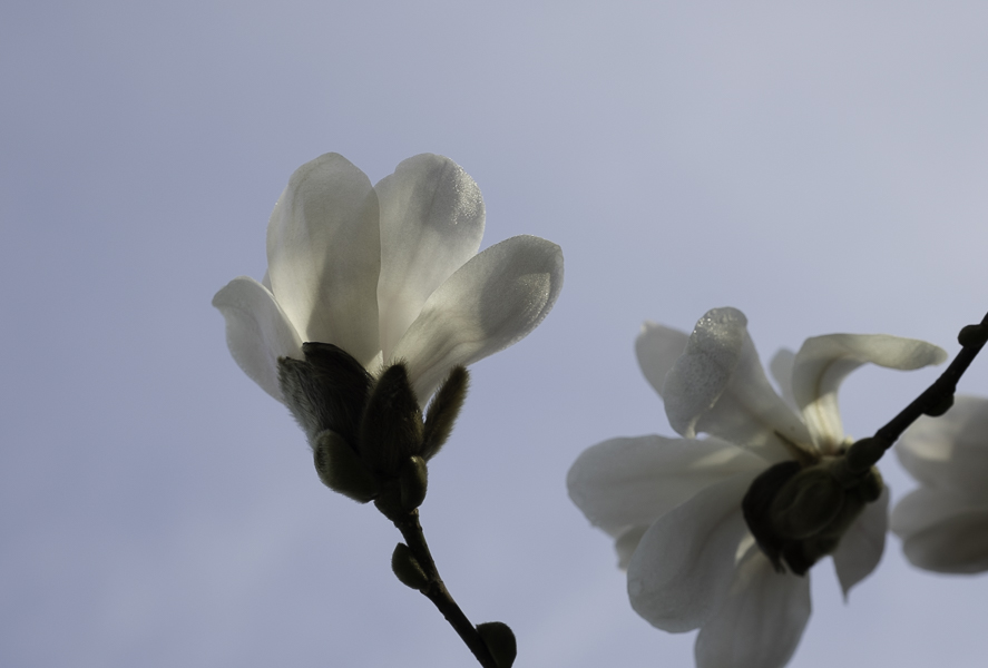 White magnolia blossoms reaching up to the blue morning sky
