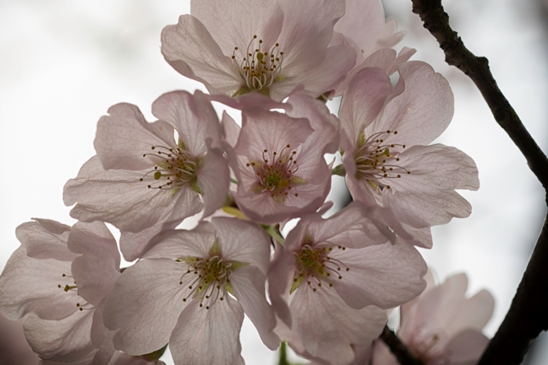 Cherry Blossoms' Hymn