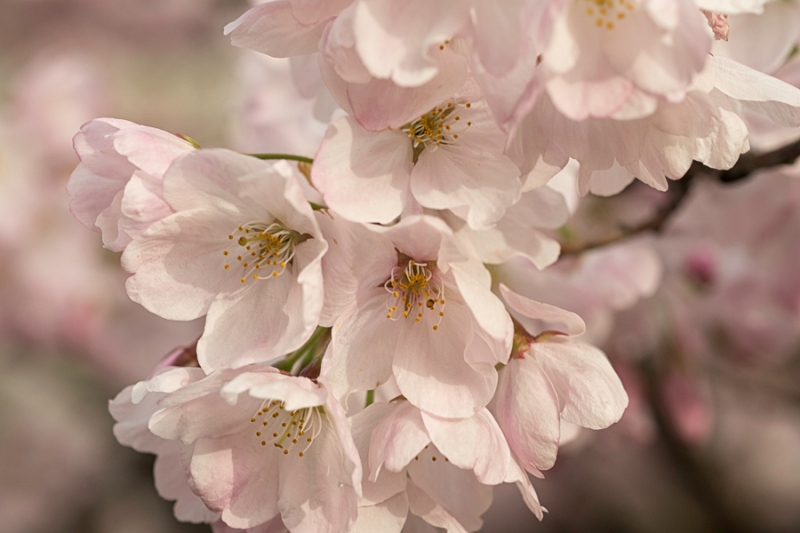 Close up of small group of cherry blossoms