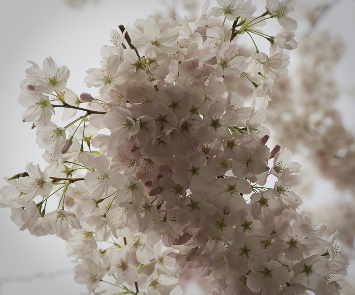 close up of branch of pale pink cherry blossoms