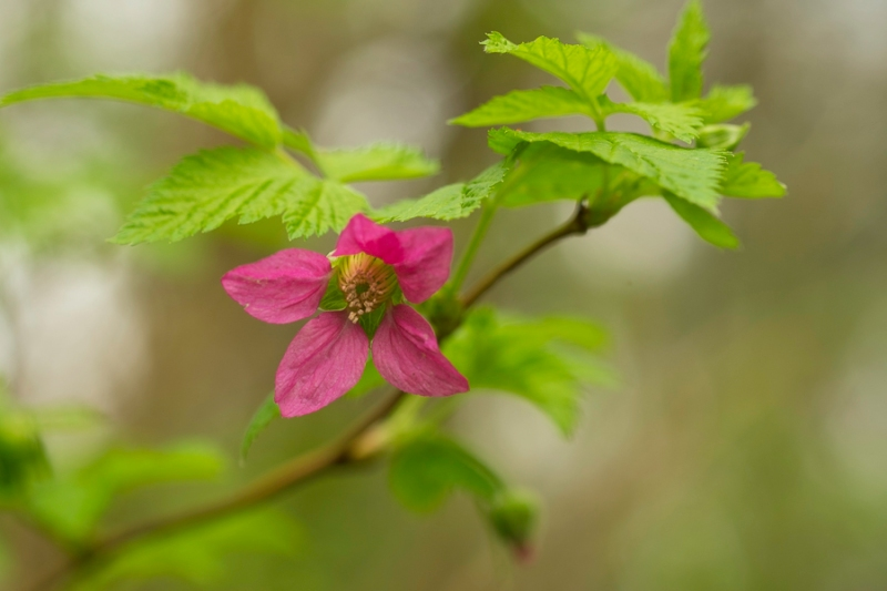 single bloom of blackberry with fresh green leaves