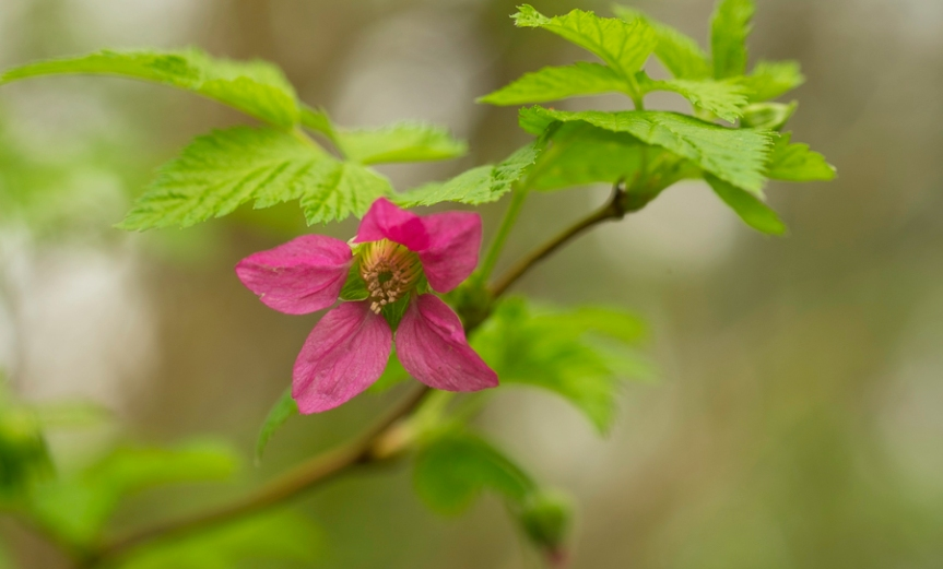 single bloom of salmonberry with fresh green leaves
