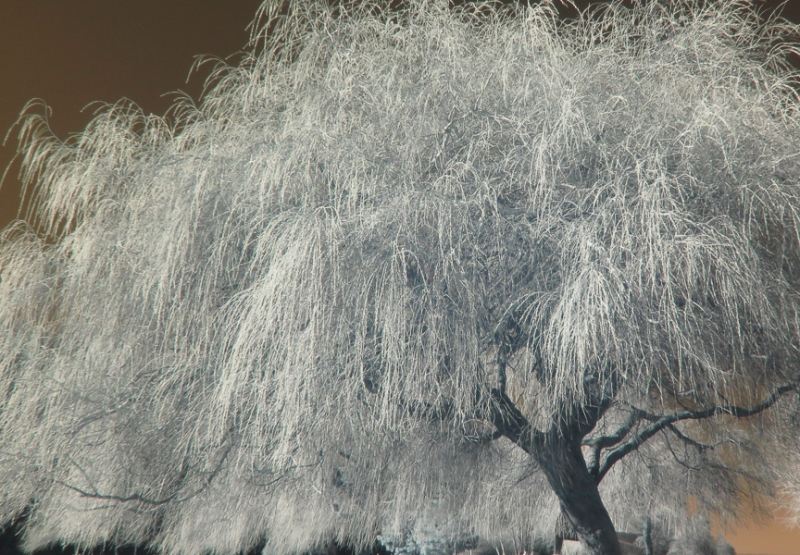 weeping willow tree in infrared