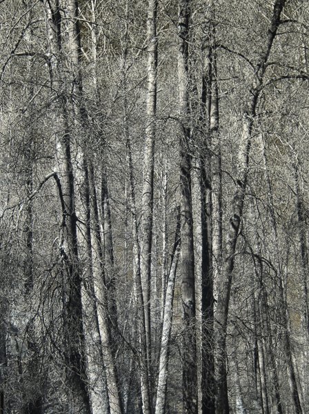 Cottonwood trees in Infrared