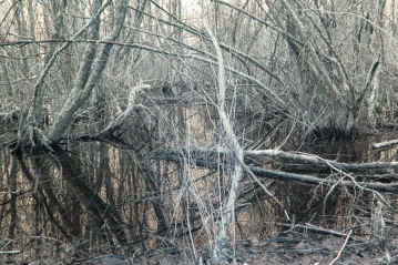 Winter Swamp with water and tangled branches