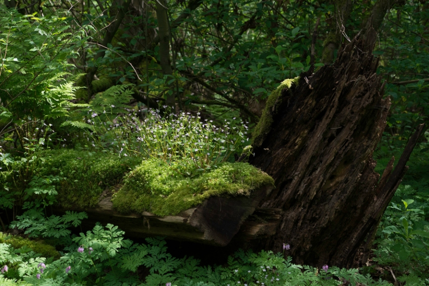 bright green moss and patch of small purple flowers on fallen log