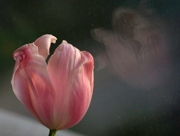 large pink tulip and its reflection in glass
