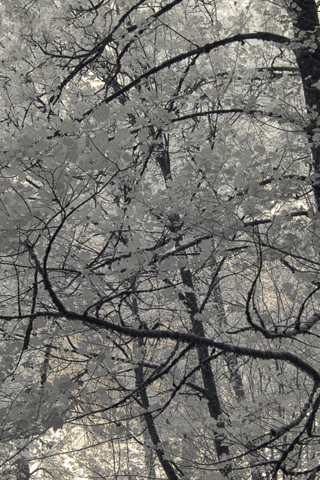 Infrared photo of swirling tree branches